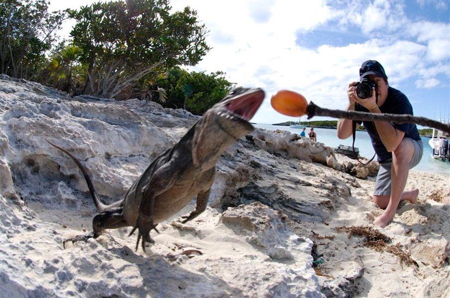 allens-cay-iguanas