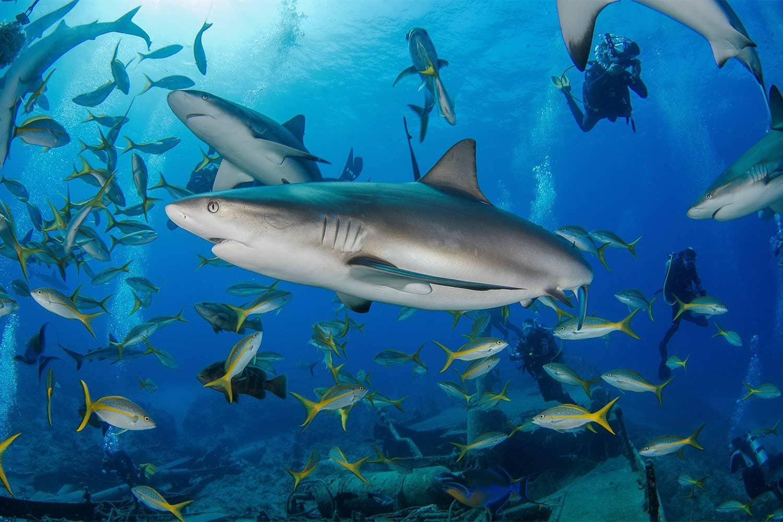 The Aqua Cat liveaboard does a shark feeding dive weekly