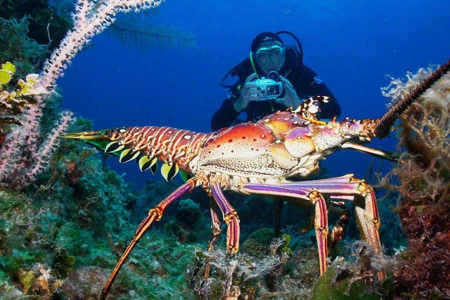 Bahamas dive liveaboard diver with lobster