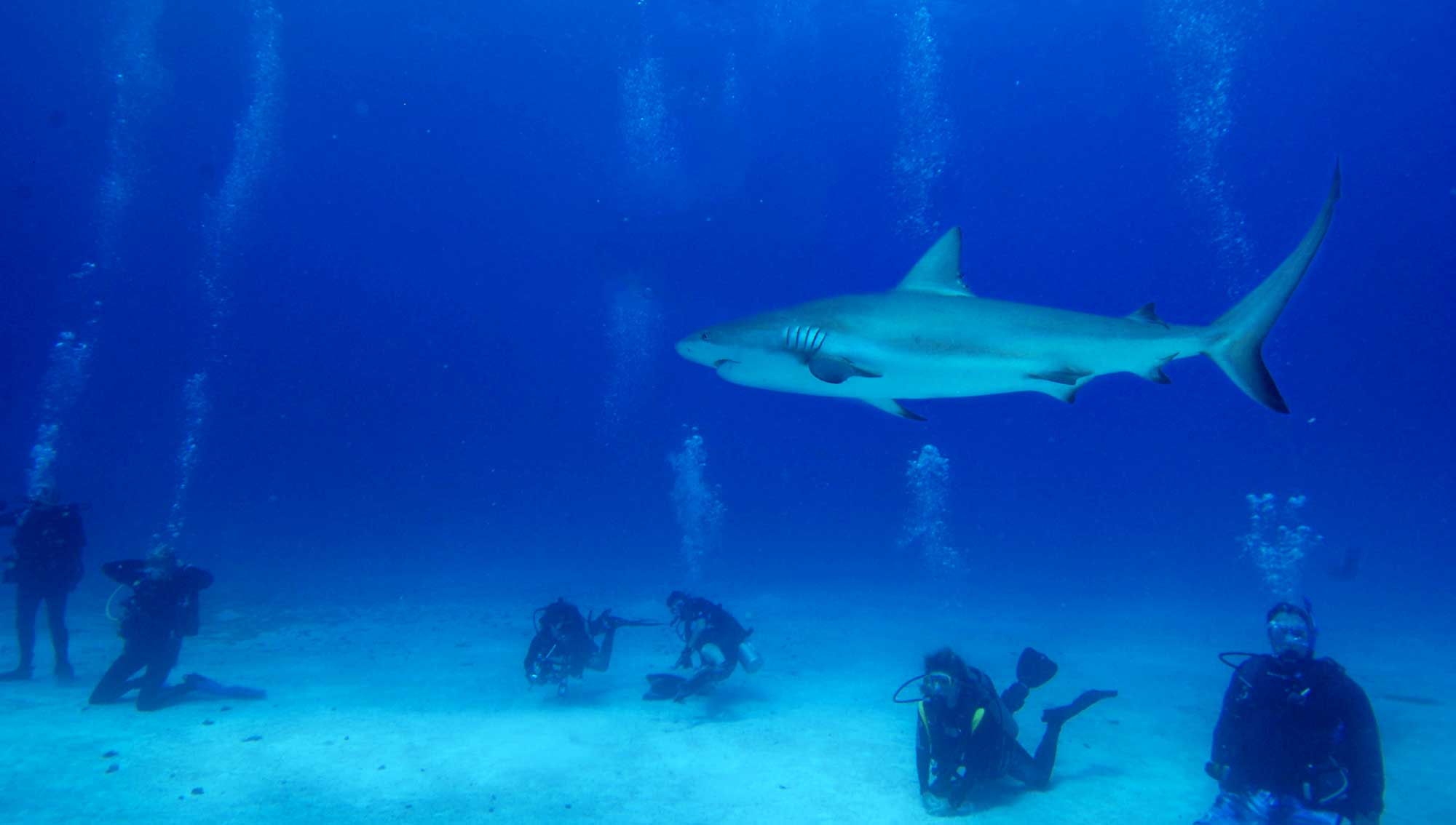 Bahamas shark feed by one of the All Star Liveaboards Bahamas dive liveaboards.