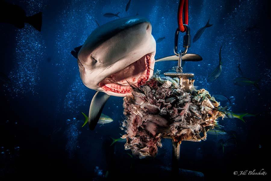 Shark dive in the Bahamas aboard diving liveaboard