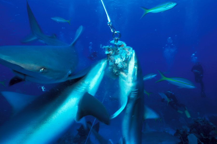 sharks08