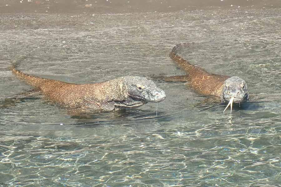 Komodo dragon,komodo,dive,liveaboard,vacation