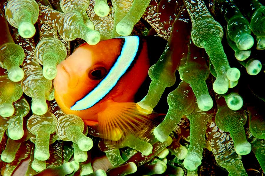 Clowfish in Raja Ampat, Indonesia