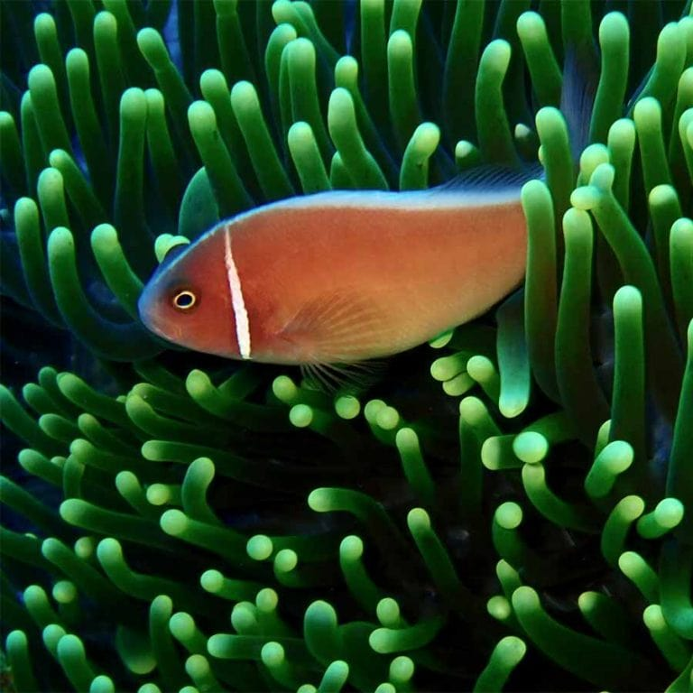 A clown fish are one of many species divers will find