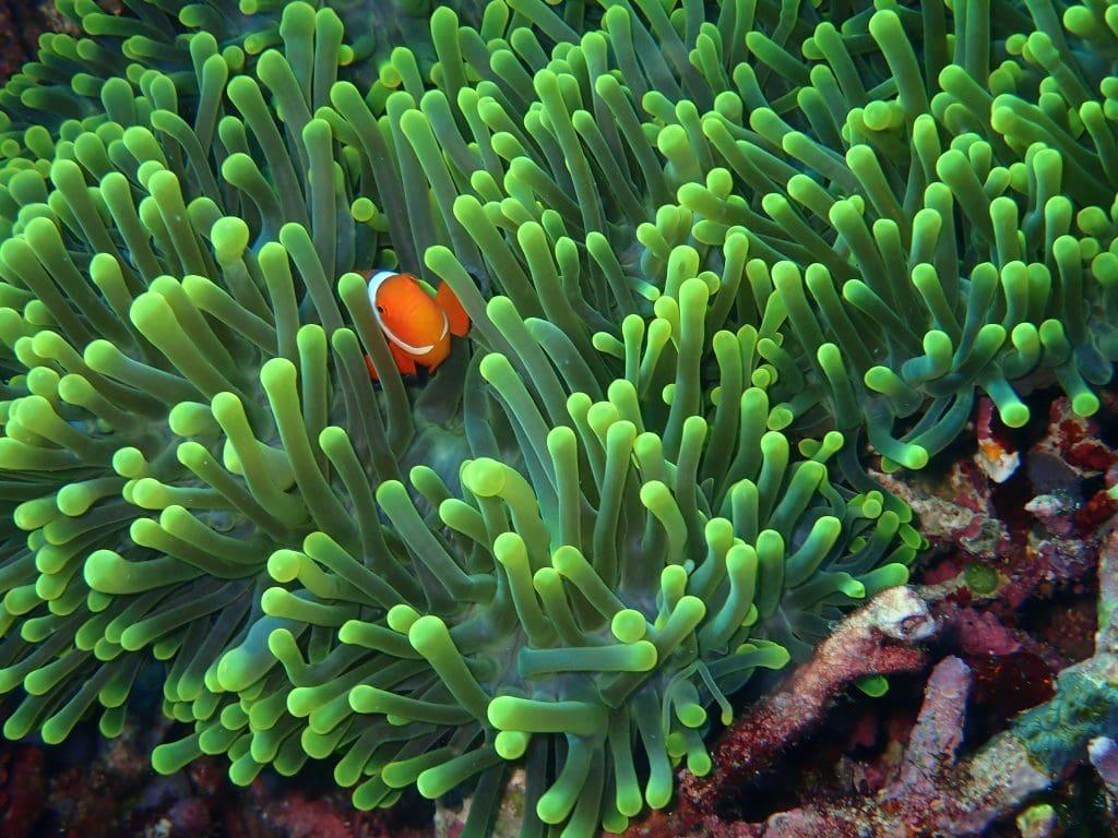 Clownfish in Anemone, Komodo, Indonesia