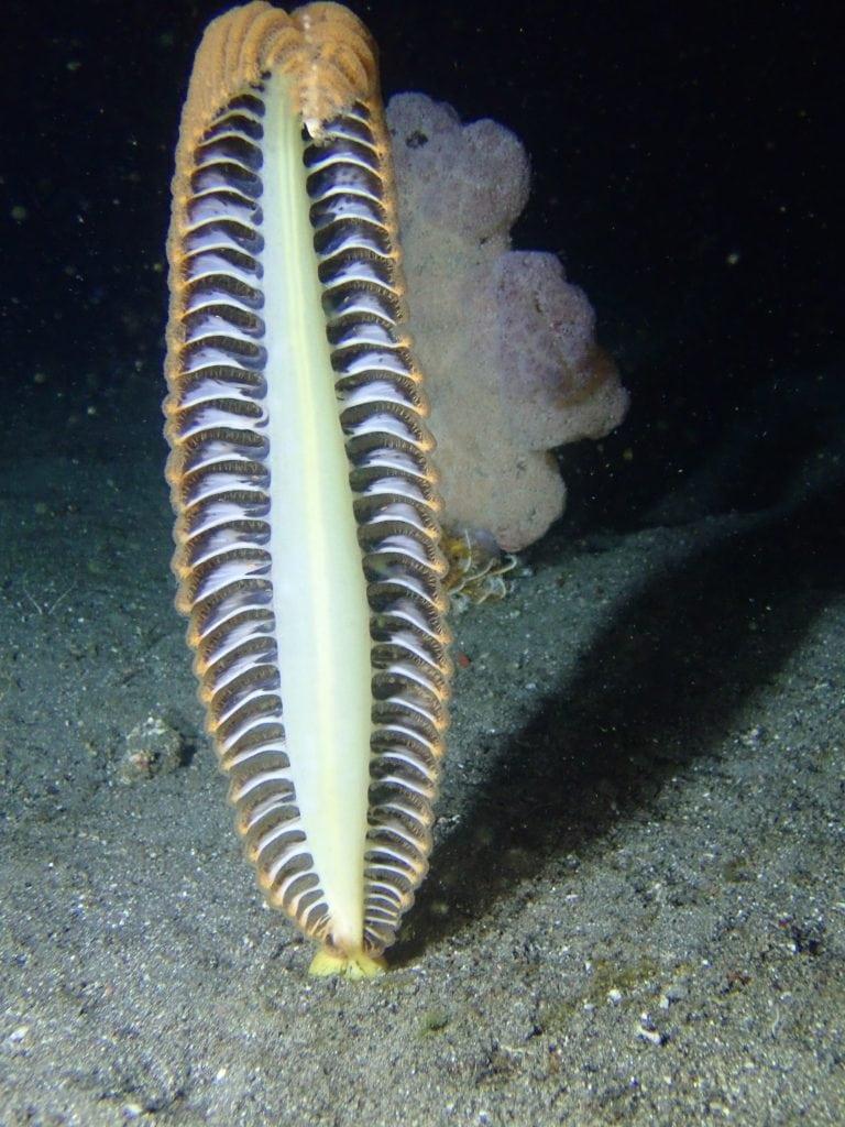 Sea Pen,Night Dive, Komodo, Indonesia, Dive Liveaboard