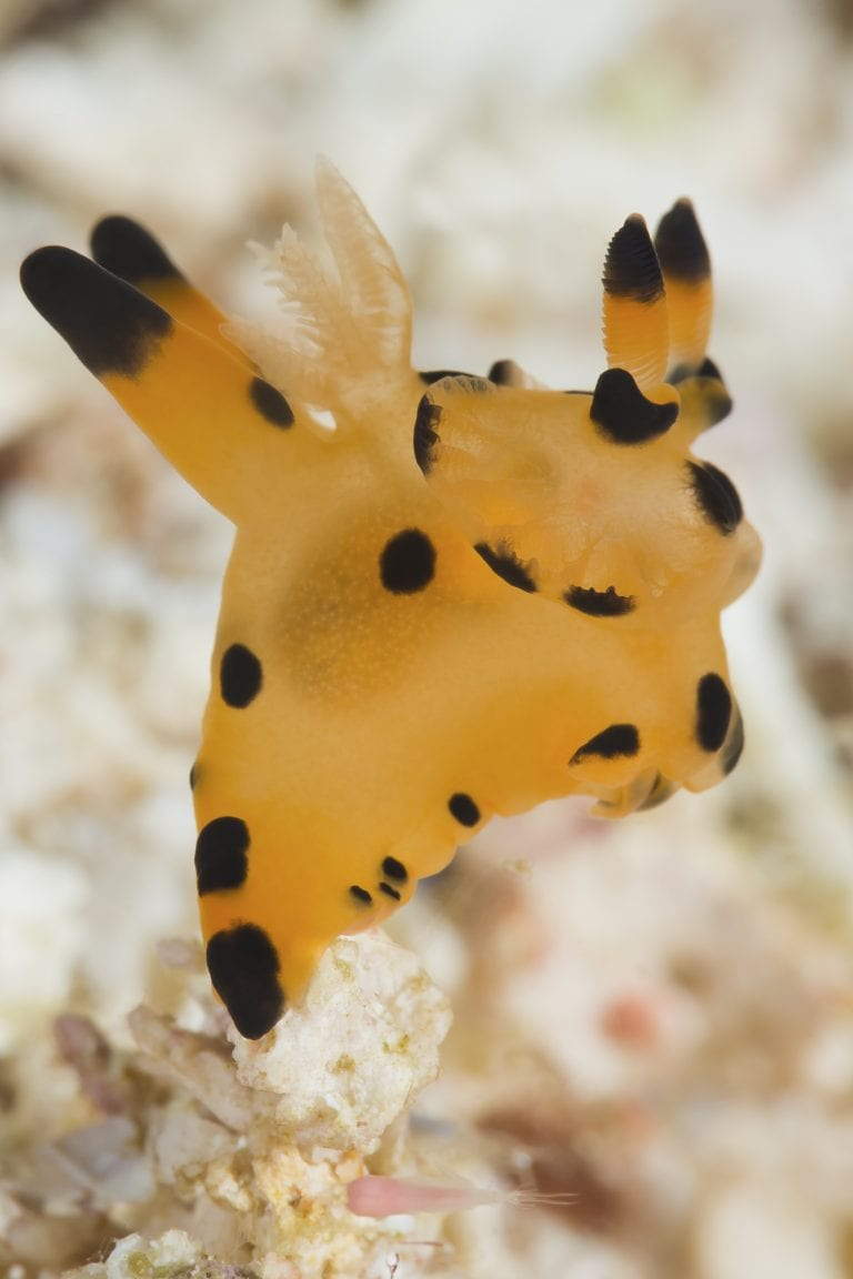 Pikachu Nudibranch,Wainilu Dive Site,Komodo,Indonesia