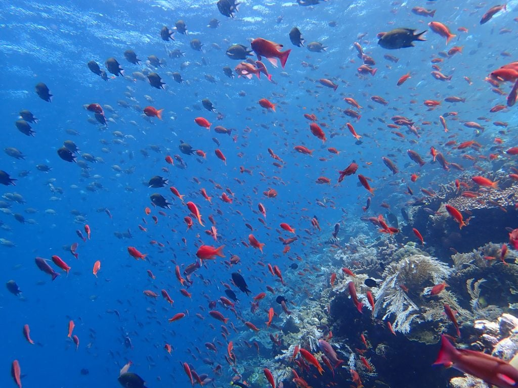 Batu Bolong,Indonesia,Komodo,Dive Liveaboard,Anthias,Biodiversity