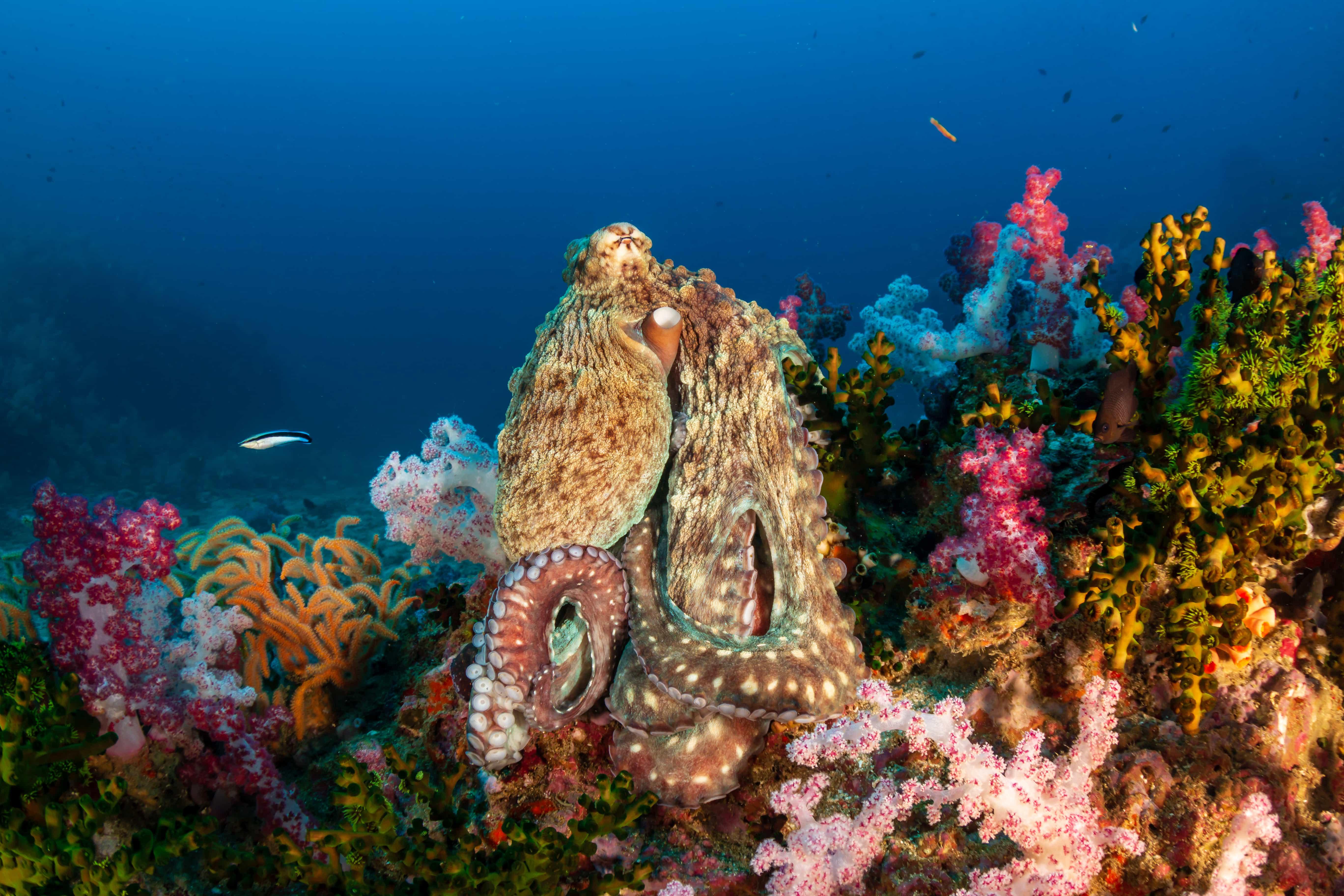 Octopus,Soft Coral,Misool,Raja Ampat,Dive Liveaboard,Indonesia Diving