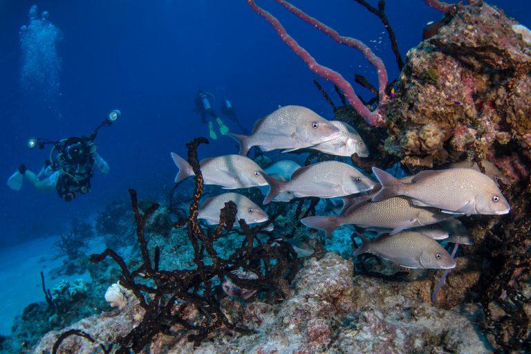 Underwater photography grunt school Exuma Cays, Bahamas
