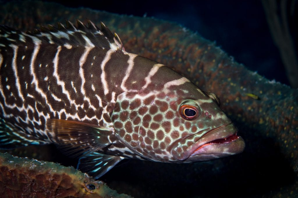 Underwater photography Tiger Grouper Exuma Cays, Bahamas
