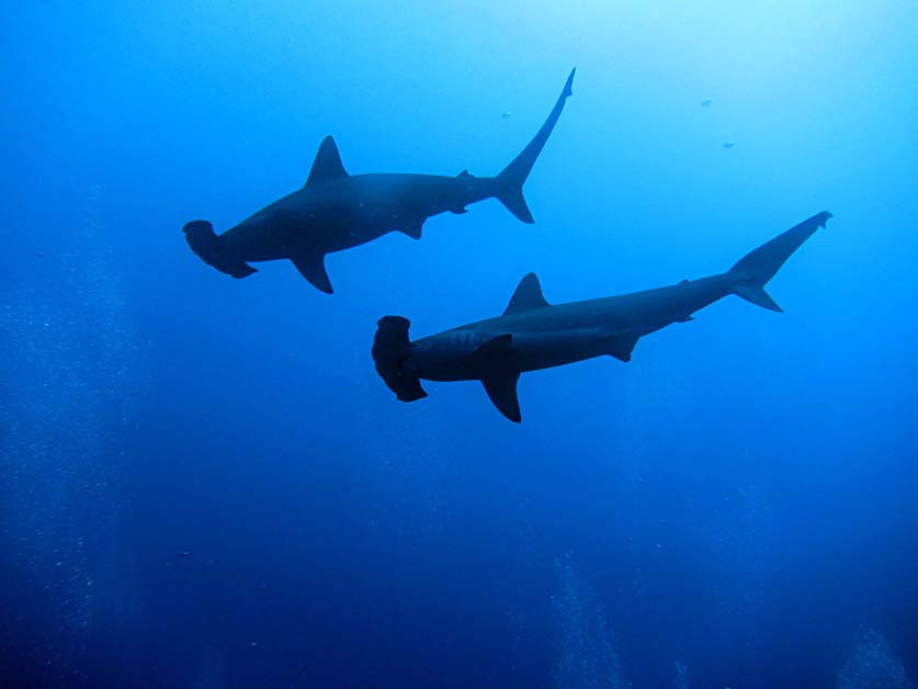 Diving with Hammerhead Sharks in the Bahamas
