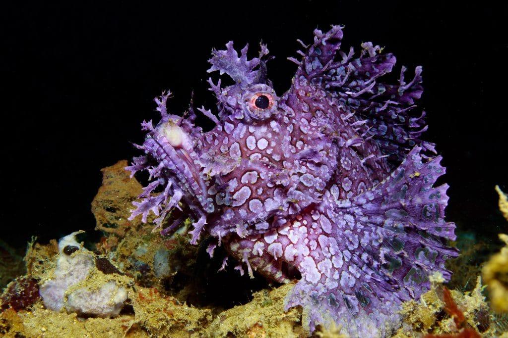 Rhinopias in Ambon Indonesia aboard Aurora dive liveaboard