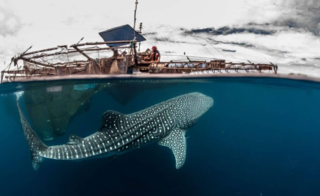 Whale shark at a bagan fishing platform in West Papua, Indonesia