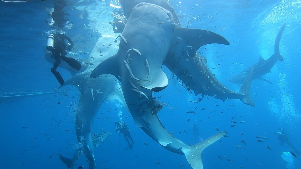 Dive with whale sharks, Triton Bay, West Papua, Indonesia aboard All Star's Velocean Liveaboard.