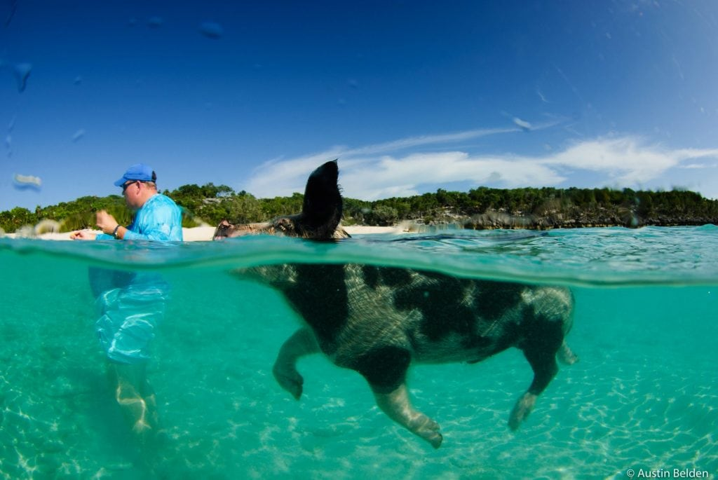 A favorite Bahamas excursion is meeting the swimming pigs of the Exuma Cays