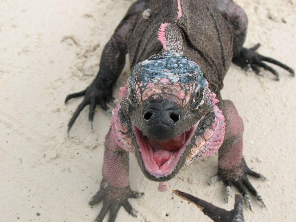 Feed iguanas in the Bahamas