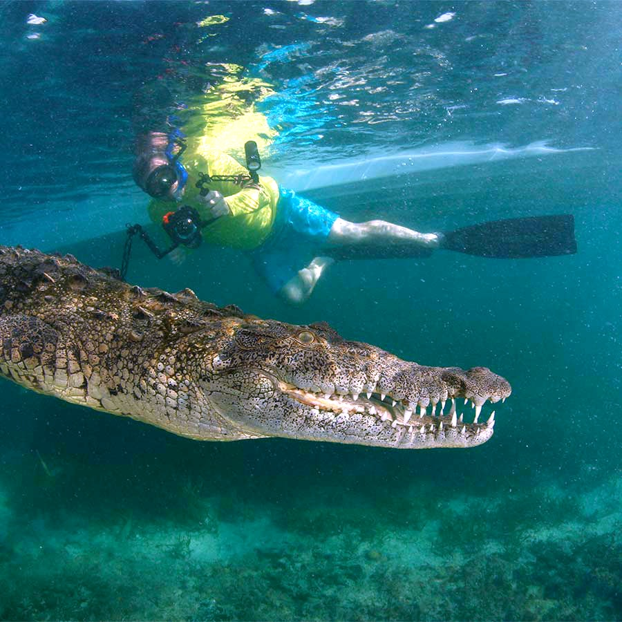 Passenger off the dive liveaboard All Star Avalon II taking a picture of a crocodile in the mangroves in the Gardens of the Queen, Cuba