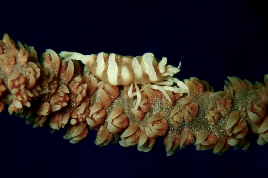 Whip coral shrimp philippines