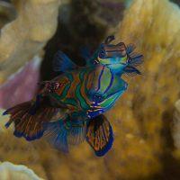 Mandarinfish in the Banda Sea aboard dive liveaboard Aurora or Velocean Liveaboard