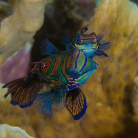 Mandarinfish in the Banda Sea aboard dive liveaboard Aurora or Velocean Liveaboard