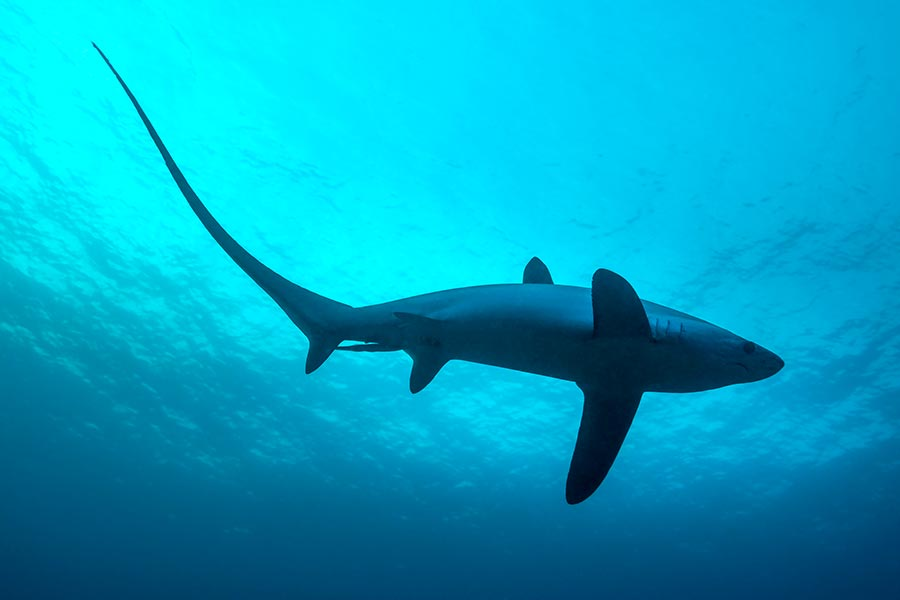 Thresher sharks are easy to spot because of their distinctive tails.