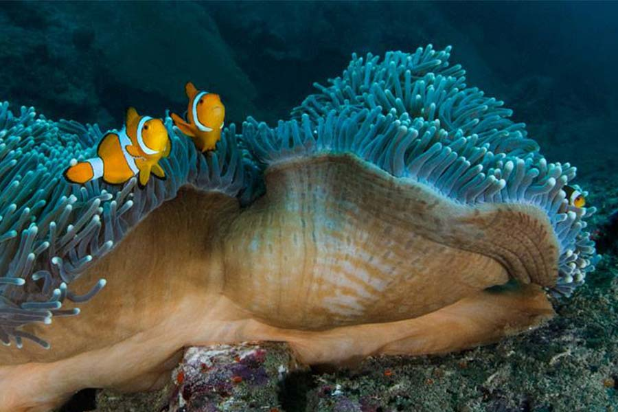 Two clownfish amid the corals