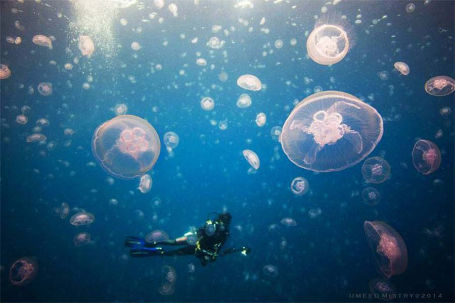 Jelly fish are yet another amazing resident of the Coral Sea