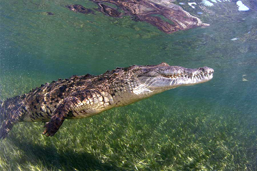 A crocodile swimming in the mangroves in the Gardens of the Queen, Cuba, only visited by scuba diving liveaboards.