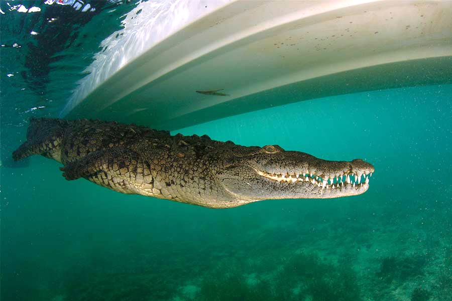 Crocodile swimming under the dive liveaboard All Star Avalon II tender