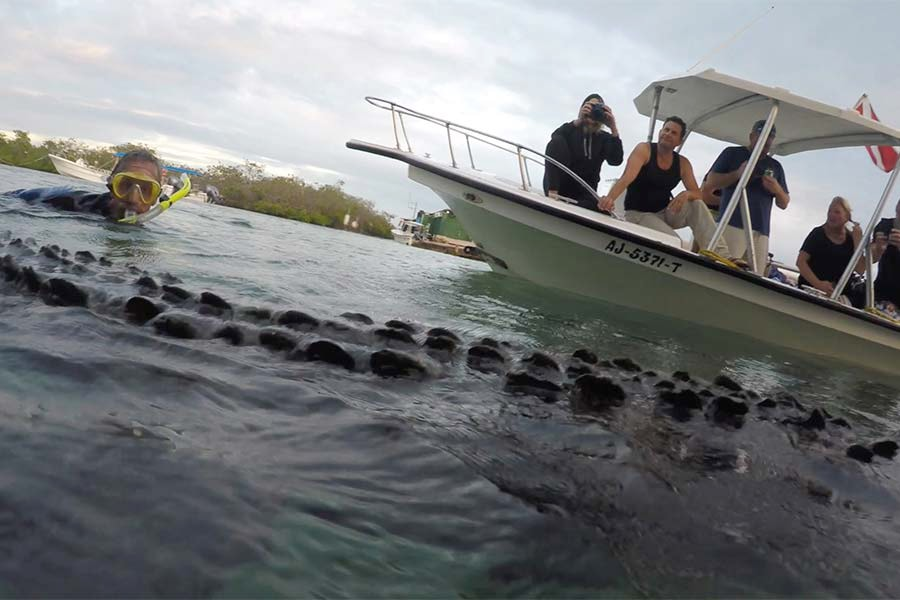 Crocodile swimming at the surface with passengers of the Cuban scuba diving liveboard All Star Avalon II