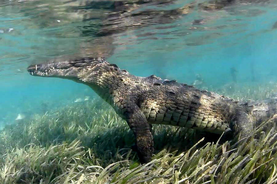 Crocodile seen by passengers swimming in the mangroves of the scuba diving liveaboard All Star Avalon II