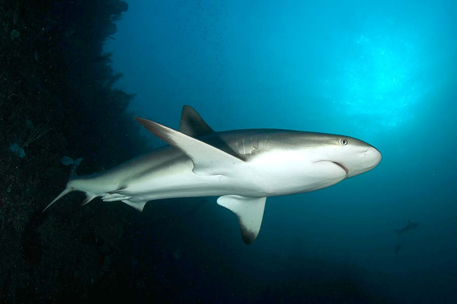 Sharks are common in the Gardens of the Queen, Cuba, only visited by dive liveaboards