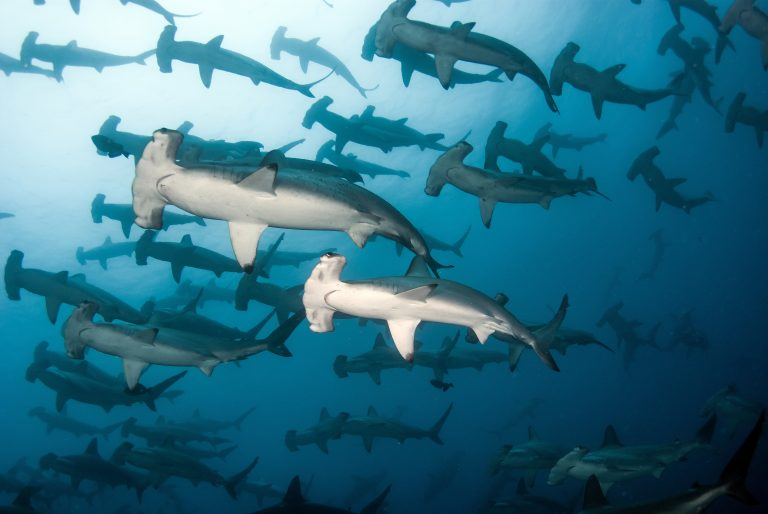 Schooling hammerheads in the Banda Sea aboard with All Star Indonesia's dive liveaboards Velocean or Aurora